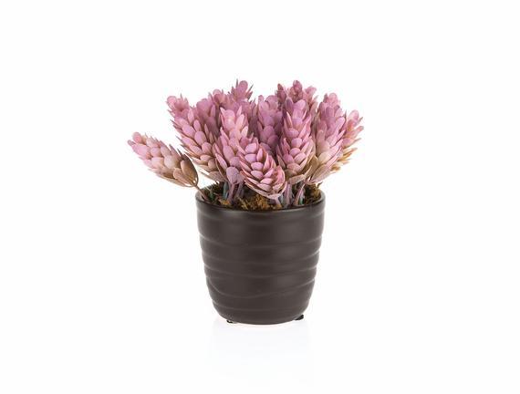 Etoile Saksılı Bitki