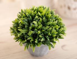 Victorina Saksılı Bitki - Yeşil