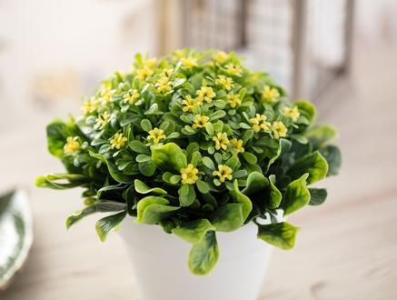 Therese Saksılı Bitki